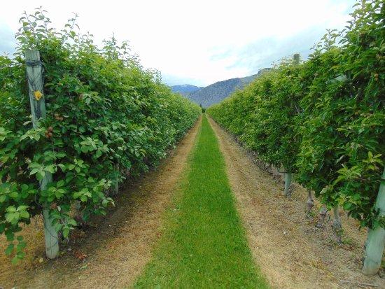 Cawston, Canadá: De wijnranken.