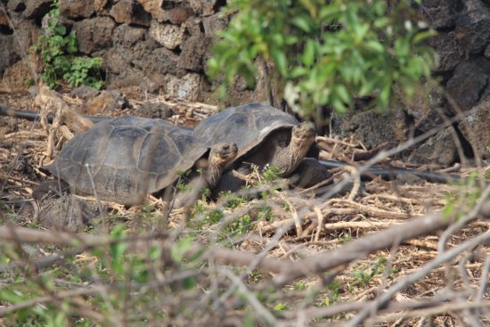Charles Darwin Research Station: tortues