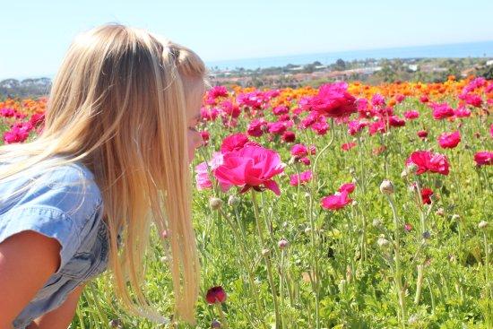 Carlsbad Flower Fields: Ranunculus flowers, Carlsbad Flower Fields