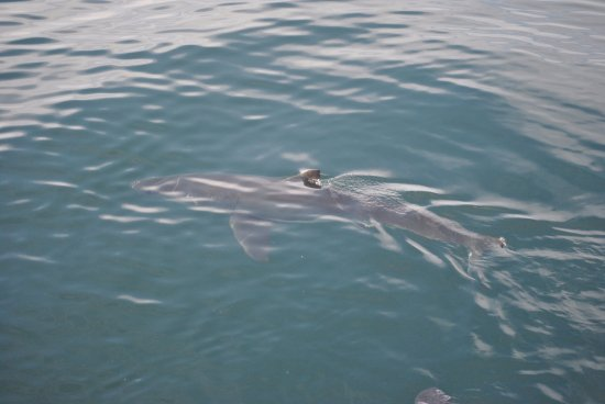 African Shark Eco-Charters: Shark