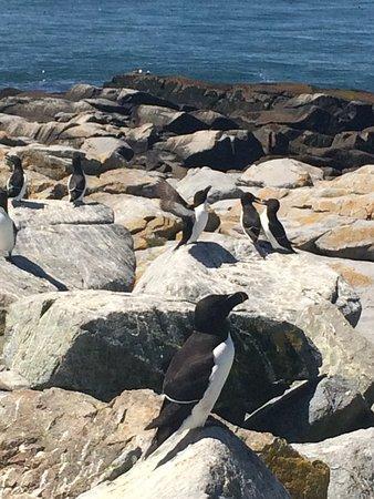 Cutler, ME: Razorbills on Machias Seal Island.