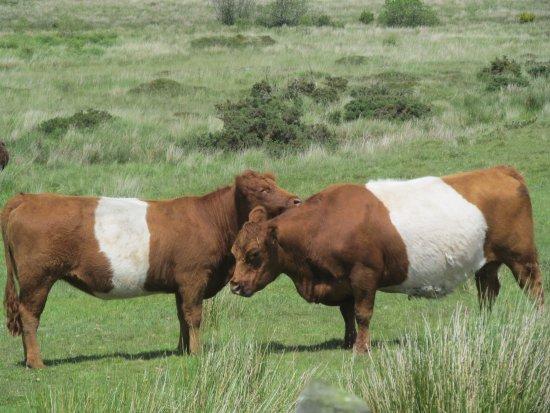 Yelverton, UK: Da fühlt sich nicht nur die Kuh wohl...