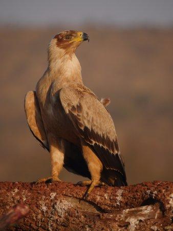 Mkuze, Güney Afrika: Tawny Eagle from the Vulture Hide