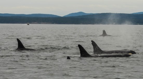 San Juan Islands, WA: Members of L Pod. There are 9 orca that I could count above surface.