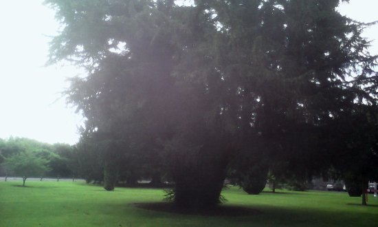 Maynooth Campus Conference & Accommodation: Ireland's oldest native tree, the Silken Thomas Yew: 700-800 years old.