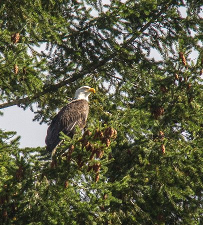 Bald Eagle along the Umpqua River along highway 38 in Scottsburg Oregon
