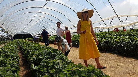 Bonvilston, UK: Picking in the Polytunnels