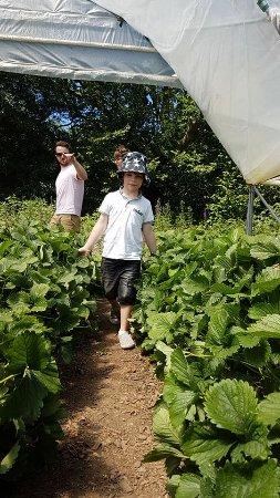 Bonvilston, UK: Exploring the strawberry rows