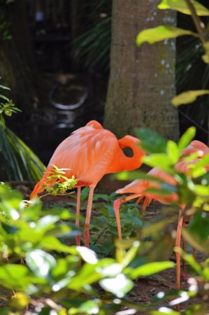 Palm Beach Zoo & Conservation Society : Lots of Flamingos