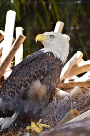 Palm Beach Zoo & Conservation Society : Bald eagles