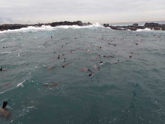 Cowes, Australia: A small portion of the seals we saw