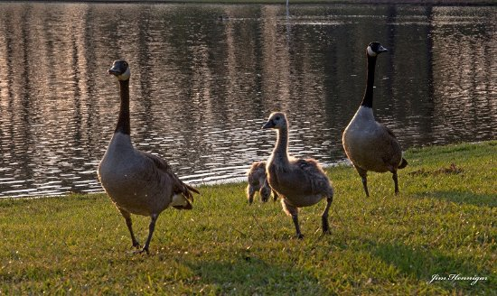Selma, Carolina do Norte: Geese rule the lake