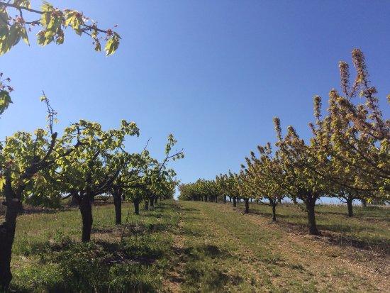 Coulanges-la-Vineuse, France : Entres vignes et vergers de cerisiers !