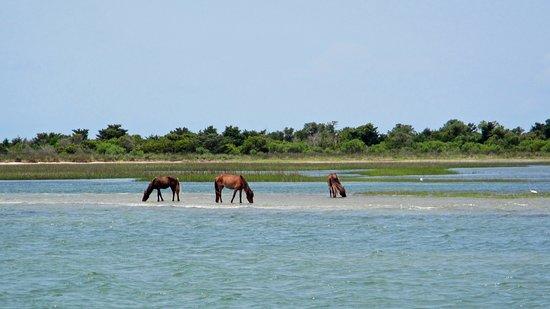Beaufort, NC: Wild horses along the shore