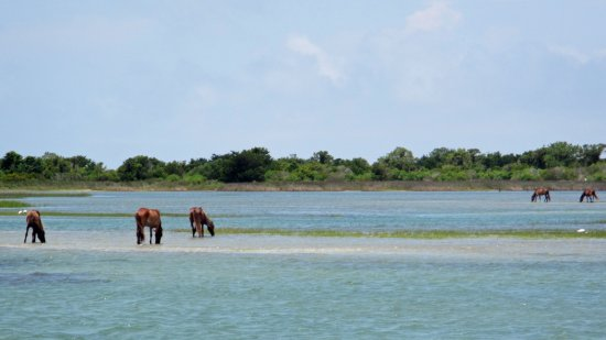 Beaufort, NC: Wild horses gather along the shore