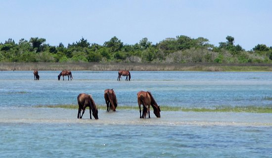 Beaufort, NC: Wild horses seem to be unaware of passing ferry