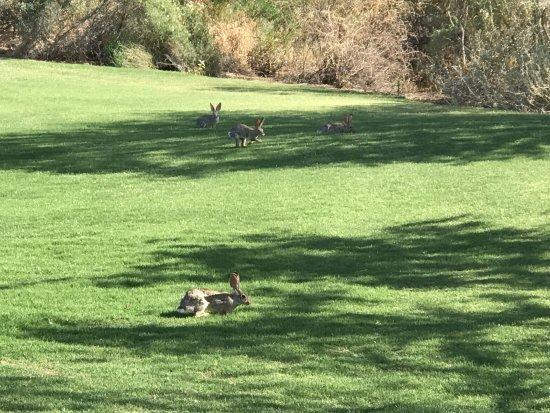 Quintero Golf Club: Rabbits