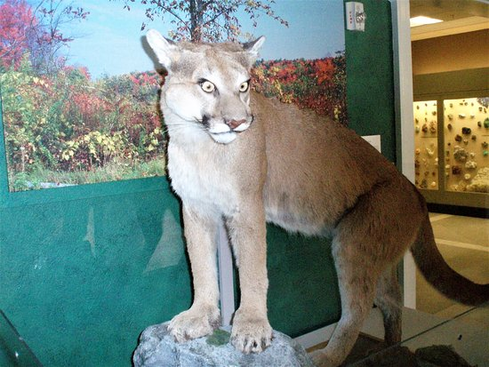 Pittsfield, MA: Stuffed Moutain lion