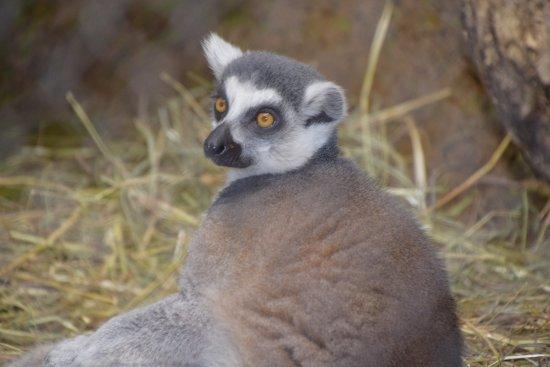 Peoria Zoo : Lemur