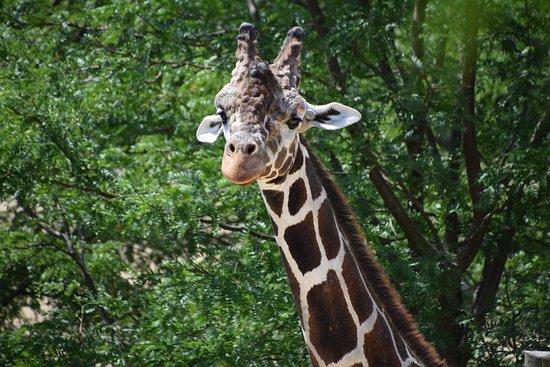 Peoria Zoo: Giraffes