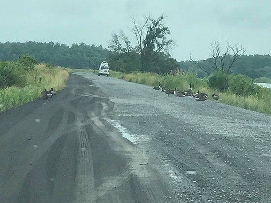 Seneca Falls, NY: Canadian geese