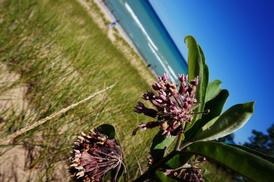Chesterton, IN: Flowers on the dunes.