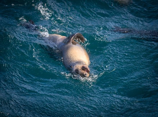 Wildlife Coast Cruises: Cheeky Seal at Seal Rocks
