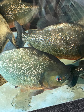 Point Defiance Zoo & Aquarium: Piranha