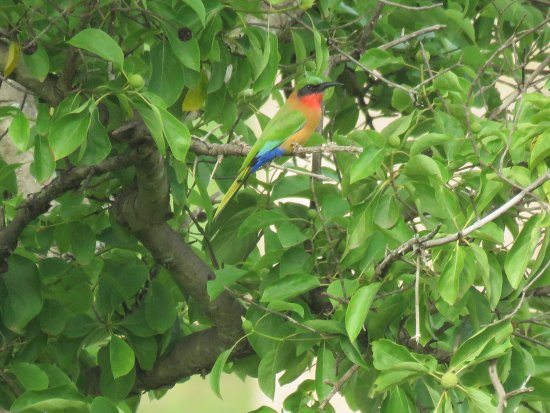 Mole National Park, Ghana: Red-throated bee-eater in the park