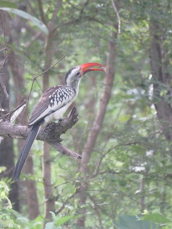 Mole National Park, Ghana: Red-billed hornbill