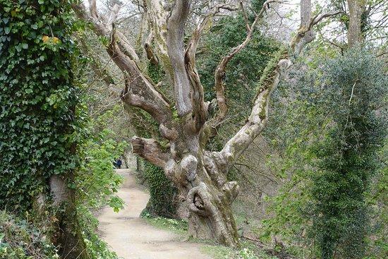 St Austell, UK: Gnarly Tree