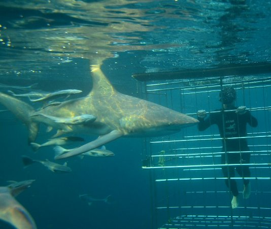 Shark Cage Diving KZN: IMG-20170709-WA0014_large.jpg
