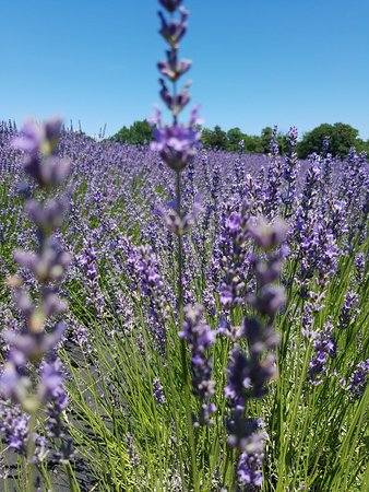 Lavender By The Bay: IMG-20170709-WA0005_large.jpg