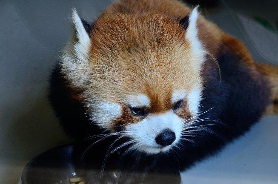 Maruyama Zoo: 小熊猫