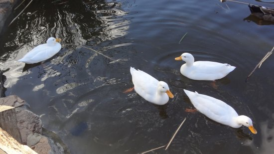 Kommetjie, Sør-Afrika: White ducks swimming