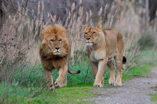 Sigean, France: couple de lions