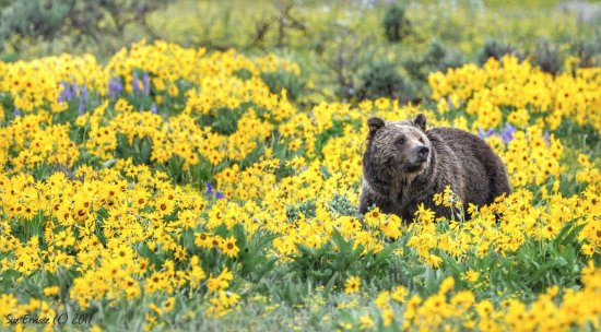 BrushBuck Wildlife Tours: A grizzly in Grand Teton National Park
