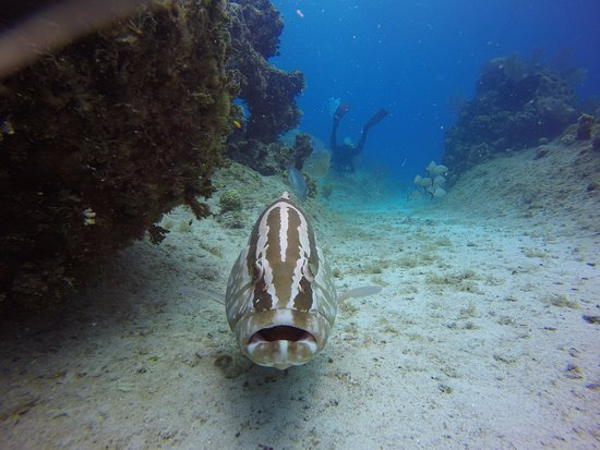 The Nassau Grouper's on Cayman Brac are unbelievably tame and enjoy being touched