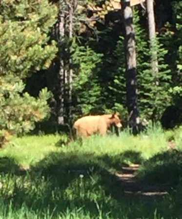 Jenny Lake Lodge: Cinnamon-colored black bear wondering through grounds while having breakfast at the lodge.