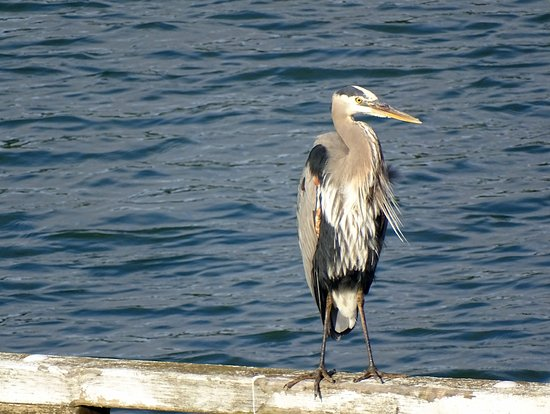 La Conner, Ουάσιγκτον: tons of Herons and other birds to be seen from your window