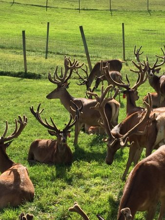 Red Deer at Rolling Hills Farm: photo1.jpg