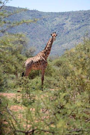Ekala Eco Tours - Day Tours: Pilanesburg Safari - Giraffe