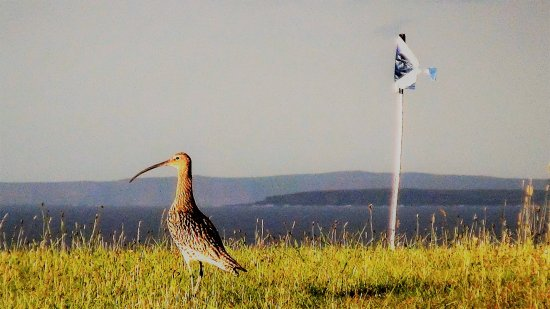 Strathy, UK: Curlews return year on year, from mid June
