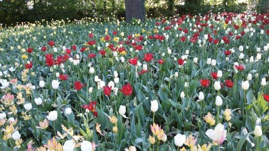 Parco del castello di Pralormo, il mare di tulipani