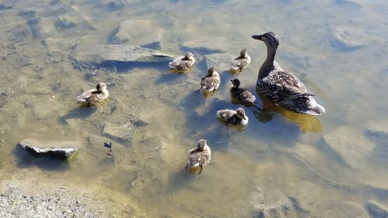 Sewell, NJ: Baby ducks at the lake. July 17
