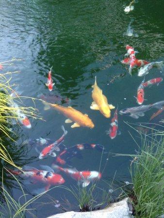 Okanagan koi and water garden kelowna all you need to for Koi fish pond kelowna