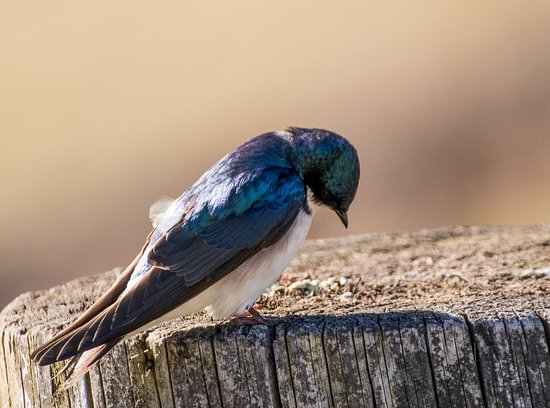Mahanoy City, Пенсильвания: Tree Swallow at the Lake