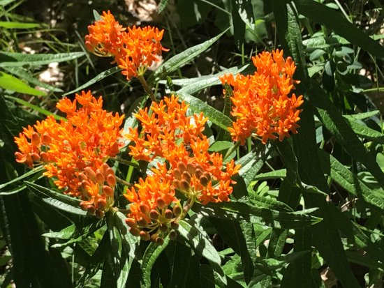 Zion, IL: Butterfly weed (Asclepias tuberosa, Milkweed family -but no milky sap)