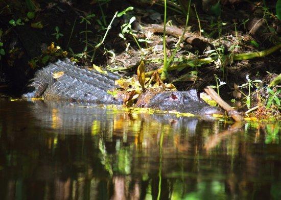 Jupiter, FL: Alligator (Alligator Mississippiensis)