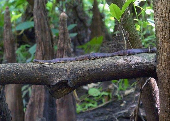 Jupiter, Flórida: Brown Water Snake (Nerodia taxispilota)